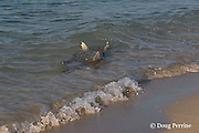 blacktip or blackfin reef sharks, Carcharhinus melanopterus, hunt along shoreline for seabird chicks and bait fish, Turu Cay, Torres Strait, Queensland, Australia