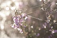 WK20100905-021.NEF.Natuur,Tafelbergheide,spinnenweb