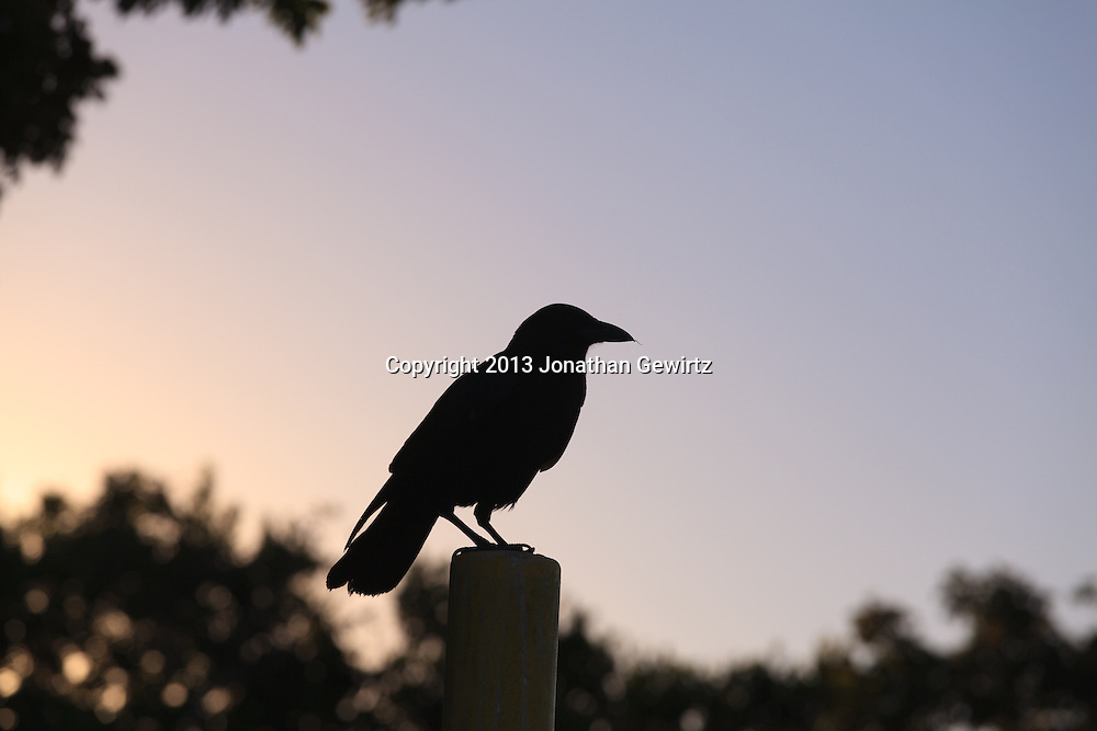 A crow (Corvus) silhouetted as it perches on a post in the Florida Everglades. WATERMARKS WILL NOT APPEAR ON PRINTS OR LICENSED IMAGES.