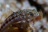Synodus capricornis (Capricorn lizardfish)