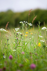 Pignut, Red Clover and Bird's foot Trefoil. Conopodium majus, Trifolium pratense, Lotus corniculatus