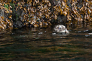 A Harbor Seal, Phoca vitulina, rests in the shallows of Quadra Island, British Columbia, Canada.