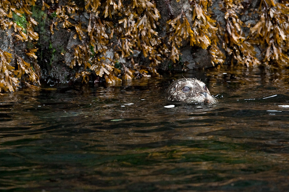 A Harbor Seal, Phoca vitulina, rests in the shallows of Quadra Island, British Columbia, Canada.