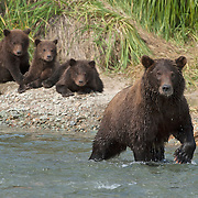 Alaskan Brown Bear (Ursus middendorffi) mother fishing for salmon in a river, while her cubs wait nearby on the river bank. Katmai National Park, Alaska