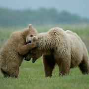 Alaskan Brown Bear, (Ursus middendorffi) Mother with cub. Katmai National Park. Alaska.