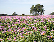 Purple flowers of potato crop growing in a field, Shottisham, Suffolk, England