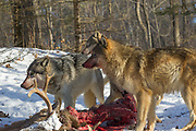 A pack of gray wolves feed on a large buck deer carcass in wooded winter habitat.
