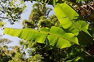 Sunlight through Banana tree leaves (Musa basjoo) at the St. Rose Nursery, La Mode, St. George's, Grenada, West Indies, Caribbean