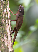 Comb-crested agamid (Gonocephalus liogaster) from Sepilok, Sabah, Borneo.
