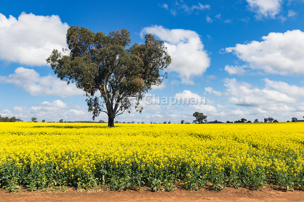 tree in a field of flowering canola crop under blue sky and cloud near Brucedale, New South Wales, Austraila. <br /> <br /> Editions:- Open Edition Print / Stock Image
