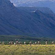 Porcupine Caribou herd in the foothills of the Brooks Range, Arctic National Wildlife Refuge, Alaska.