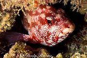 flagtail grouper, darkfin hind, or flagtail rockcod, Cephalopholis urodeta, asleep in reef at night, Helengeli, Maldives ( Indian Ocean )