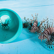 Invasive lionfish (Pterois volitans) in a lab tank to be studied by researchers at the Cape Eleuthera Institute.