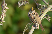 The Golden-crowned Sparrow is a winter visitor to Washington. It breeds in Alaska and Northern Canada.