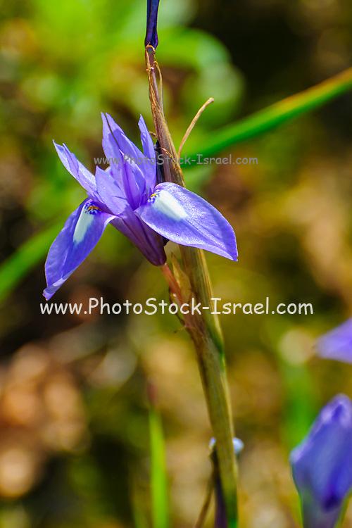 Blue Iris or Barbary Nut, (Moraea sisyrinchium syn. Gynandriris sisyrinchium) Photographed in Israel in March a dwarf iris, in the genus Moraea, native to southern Europe and the Mediterranean region
