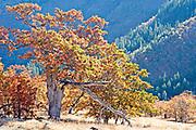 Autumn Oak Tree in Sunlight, Washington State