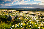 An abundance of Hare's Tail Cotton Grass covers Totley Moor. Looking towards Fox House, Over Owler Tor & the Hope Valley. Sunset, evening light. Late Spring. Derbyshire. Peak District National Park, England, UK.