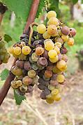 Noble rot grapes. Semillon. Chateau Nairac, Barsac, Sauternes, Bordeaux, France