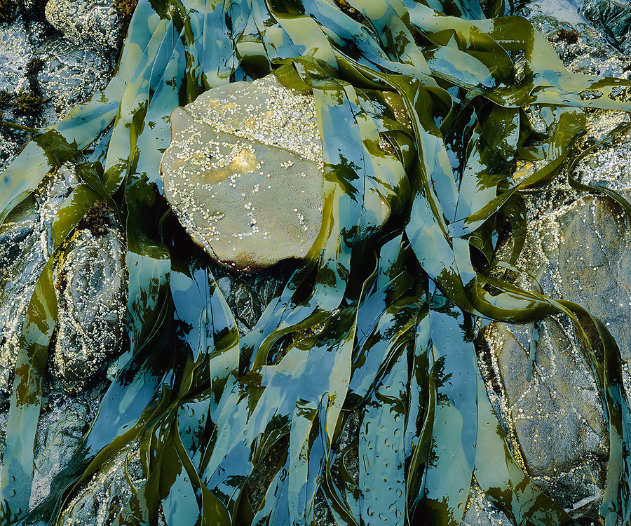 Kelp design near Cedar Creek, Pacific Coast, Olympic National Park, Washington, USA