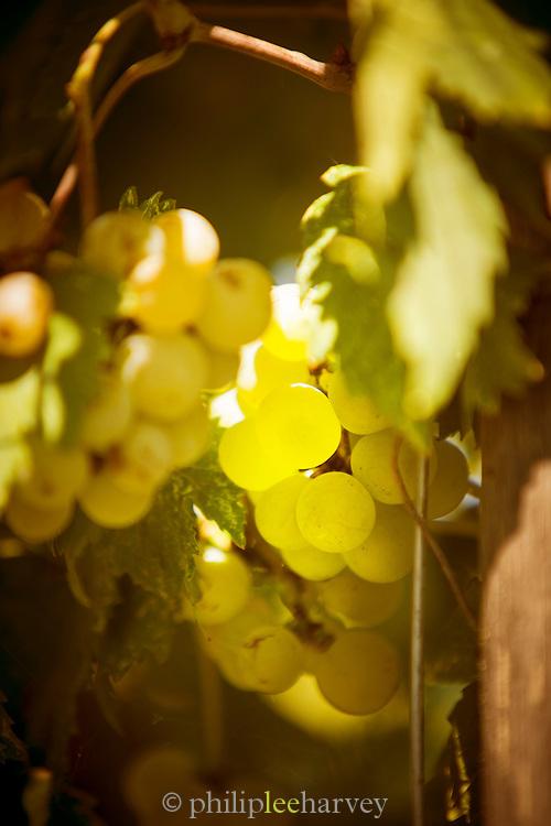 Dorona grape, a clone of the Garganega grape. Island of Burano, Venice, Italy, Europe