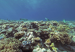 Parrot Fish in the Clerke Channel, Rowley Shaols