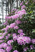 Hybrid rhododendron flowers (in the heath family, Ericaceae) bloom in beautiful Meerkerk Gardens, on Whidbey Island, in the state of Washington, USA. To see the park's blossoms at their spectacular peak, visit around late April or early May. Getting there: 2 miles south of Greenbank, turn east at the corner of Highway 525 and Resort Road, and go to 3531 Meerkerk Lane. (Photo was taken May 22, 2015.)