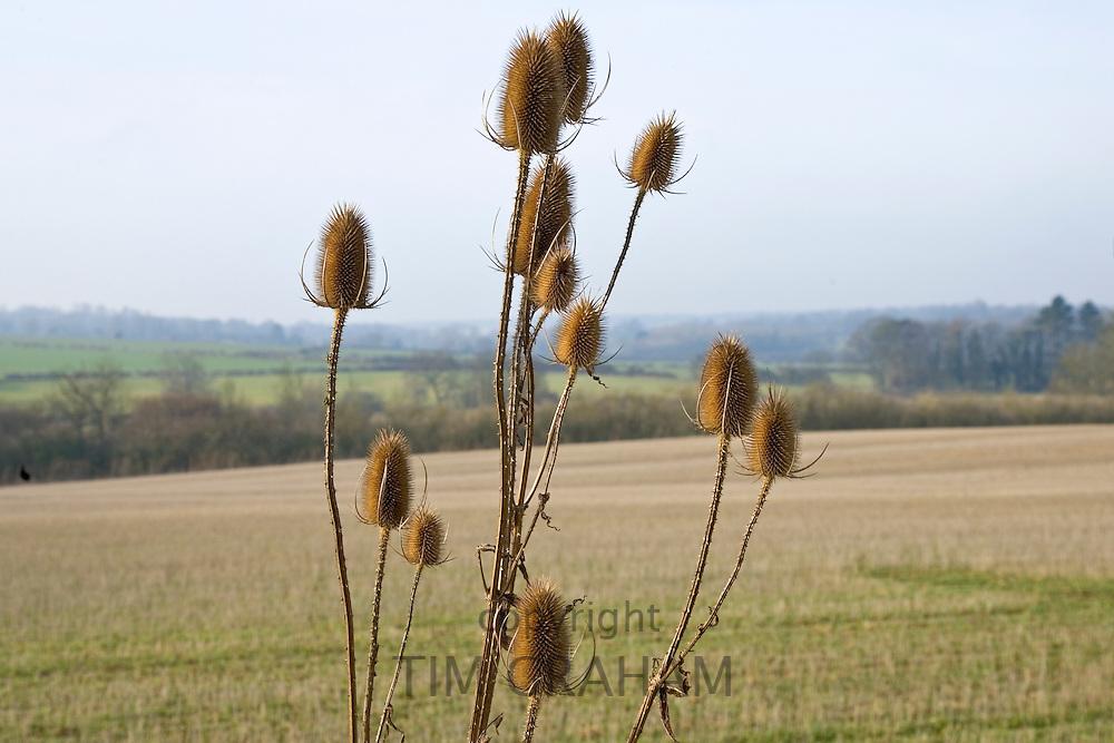 Thistles, Gloucestershire, United Kingdom.