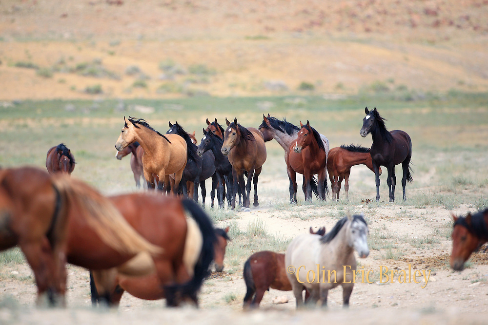 Mustangs gather around a watering hole in central Utah, July 25, 2009. With wide expanses of public land, Utah sustains some of the largest herds of wild horses in the western U.S. Photo by Colin E. Braley