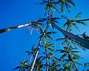 Coconut Palm, Hawaii<br />