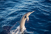 spinner dolphin, either eastern spinner, Stenella longirostris orientalis, or Central American spinner, Stenella, longirostris centroamericana, jumping, offshore from southern Costa Rica, Central America ( Eastern Pacific Ocean )