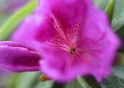 April 3, 2017 - USA - Looking inside a new azalea flower reveals nature's delicate beauty ready to unfold, in Pat Brooks' backyard. (Credit Image: © John Walker/TNS via ZUMA Wire)