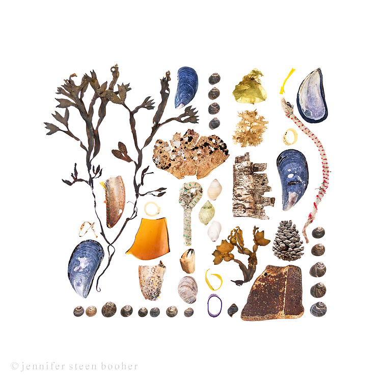 From left to right, top to bottom: Rockweed (Fucus distichus), Blue Mussel (Mytilus edulis), Common Periwinkles (Littorina littorea), American Lobster claw (Homarus americanus), plastic ring from bottle cap, broken glass, lobster claw, periwinkles, Blue Mussel, Rock Crab (Cancer irroratus), rope, crab claw, Slipper Shell (Crepidula fornicata), periwinkles, Dog Whelks (Nucella lapillus), lobster-claw bands, Sea Potato (Colpomenia peregrina) (possibly Leathesia marina), Irish Moss (Chondrus crispus), Paper Birch bark (Betula papyrifera), Bladderwrack (Fucus vesiculosus), periwinkle, plastic scrap, rope, lobster-claw band, Blue Mussel,Pitch Pine cone (Pinus rigida), broken earthenware (prob. part of an old sewage pipe), Blue Mussel, periwinkles.<br />