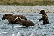 A brown bear yearling cub stands up in the water while hunting for salmon with his sister and mother at the McNeil River State Game Sanctuary on the Kenai Peninsula, Alaska. The remote site is accessed only with a special permit and is the world's largest seasonal population of brown bears in their natural environment.