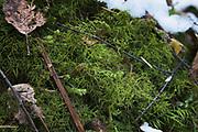 Shaded Wood-moss Hylocomiastrum umbratum on forest floor, forests around River Amata, near Skujene, Latvia Ⓒ Davis Ulands | davisulands.com