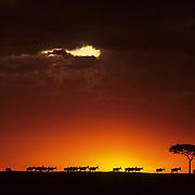 Topi silhouetted against a horizon and sunrise. Masai Mara National Reserve, Kenya, Africa