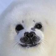 Harp Seal, (Pagophilus groenlandicus) Close-up of pup. Nova Scotia. Canada. Spring.