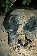 green sea turtle, Chelonia mydas, laying eggs at night; note ovipositor releasing egg, Selingaan Island, Turtle Islands Park, off Borneo, Sabah, Malaysia ( Celebes Sea / Western Pacific Ocean )