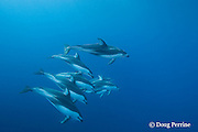 Pacific white-sided dolphins, Lagenorhynchus obliquidens<br /> off San Diego, California, U.S.A. ( Eastern Pacific Ocean )