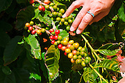 Red coffee cherries on the vine at the Kauai Coffee Company, Island of Kauai, Hawaii