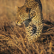 A portrait of a leopard. Kenya, Africa