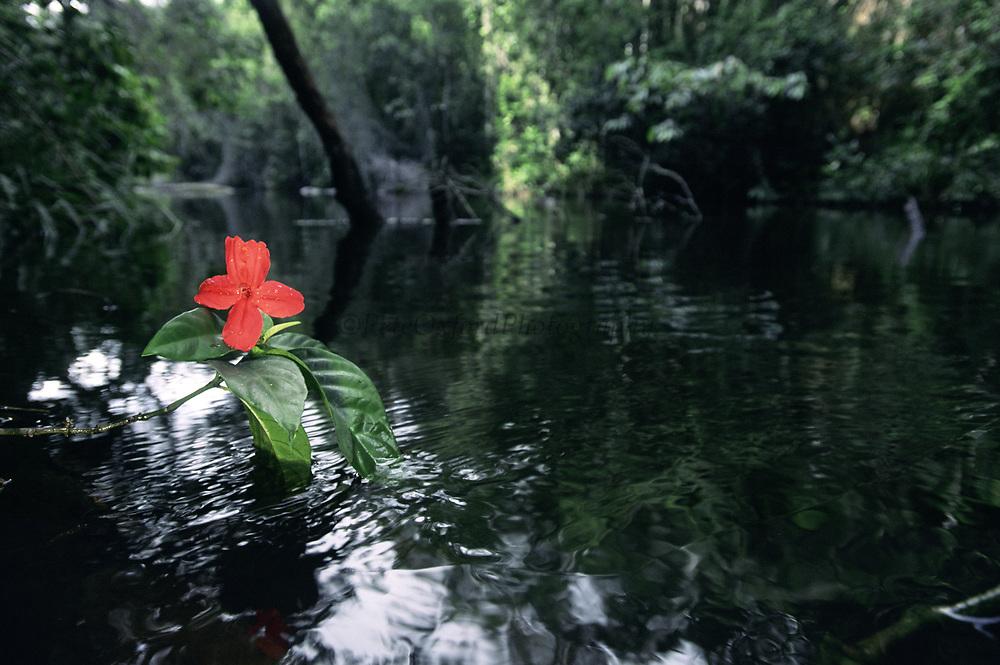 Atlantic Forest Flower<br />Itubera<br />Bahia State,  BRAZIL   South America<br />THREATENED HABITAT