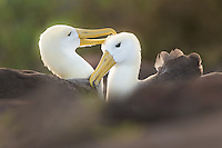 A pair of Waved Albatross mate for life, and they do show their affection towards eachother on a regular bacis during the mating season. This endangered bird is endemic to Galapagos and pretty much all the birds breed on Espanola Island.