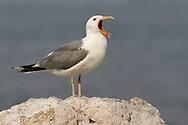 California Gull - Larus californicus - Adult breeding