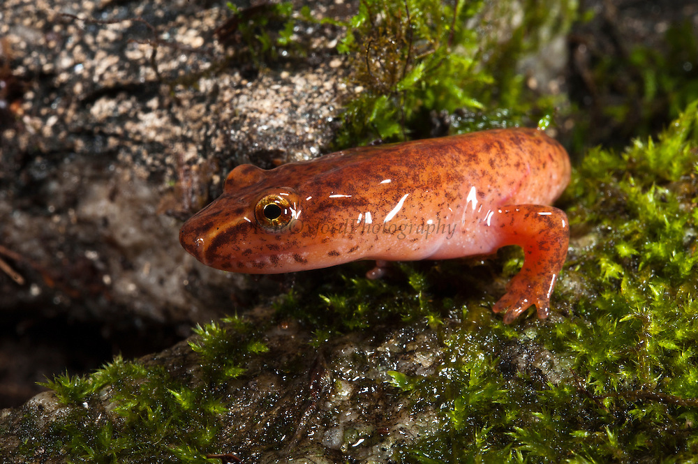 Spring Salamander (Gyrinophilus porphyriticus)<br /> CAPTIVE<br /> North Georgia<br /> USA<br /> HABITAT & RANGE: Cool streams of Appalachian Mountains. Virginia to nw South Carolina, Northern Georgia & Alabama, ne Mississippi and e portions of Tennessee and Kentucky.<br /> Threatened Species in Mississippi