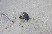 A Common Periwinkle moves slowly across a wet, sandy beach at low tide.