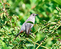 Gray Catbird. Sourland Mountain Preserve. Image taken with a Nikon D810a camera and 500 mm f/4 VR lens.