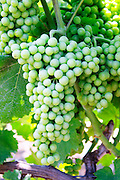 Big grape bunch. Muscat grape variety. Kantina Miqesia or Medaur winery, Koplik. Albania, Balkan, Europe.