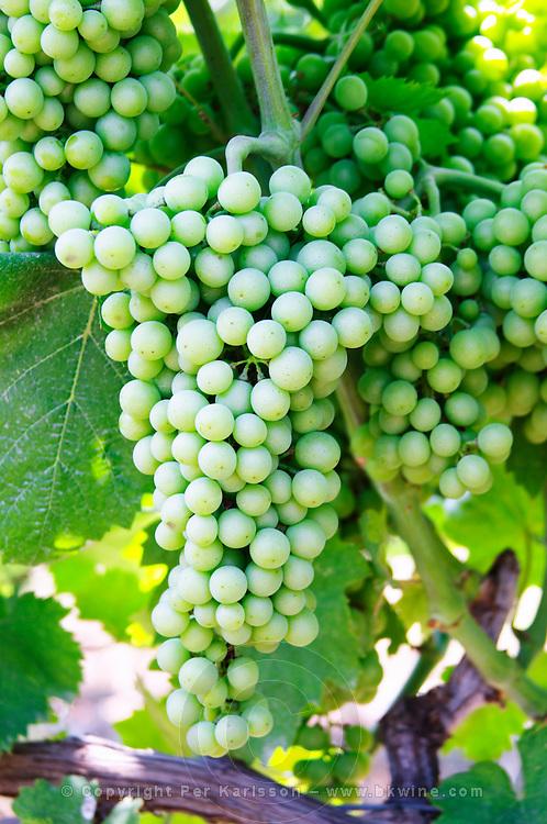 Big grape bunch. Muscat grape variety. Kantina Miqesia or Medaur winery, Koplik. Albania, Balkan, Europe.