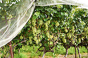 Grapes on vines. Photographed in Israel in May