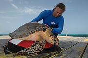 Hawksbill Turtle Capture (Eretmochelys Imbricata) for annual monitoring<br /> MAR Alliance<br /> Lighthouse Reef Atoll<br /> Belize<br /> Central America